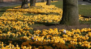 yellow daffodils under the trees
